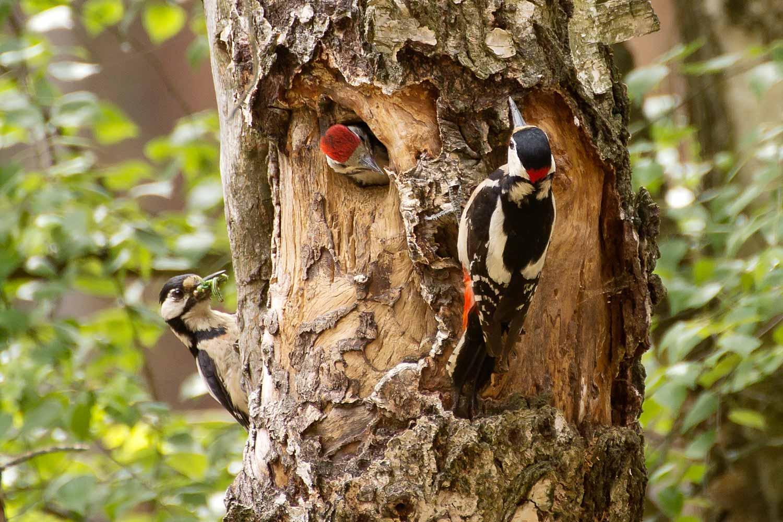Buntspechtfamilie